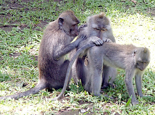 Reciprocal altruism in action: macaques grooming each other in Bali. (Photo by Rhett A. Butler © mongabay.com, used with permission.)
