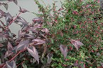 Red Dragon Fleece Flower