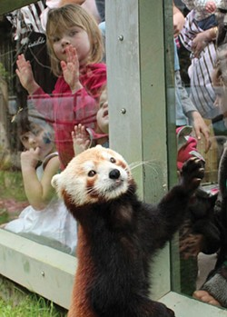 Red pandas are a highlight of the Sequoia Park Zoo. - PHOTO COURTESY OF THE SEQUOIA PARK ZOO