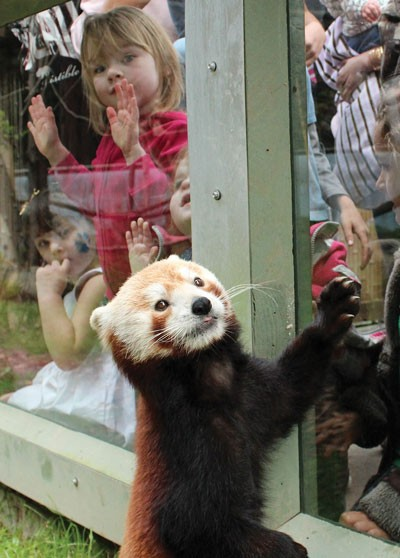 Red pandas are a highlight of the Sequoia Park Zoo.