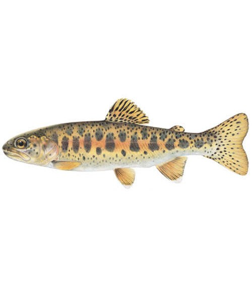 Redband Trout - COURTESY OF USDA FOREST SERVICE