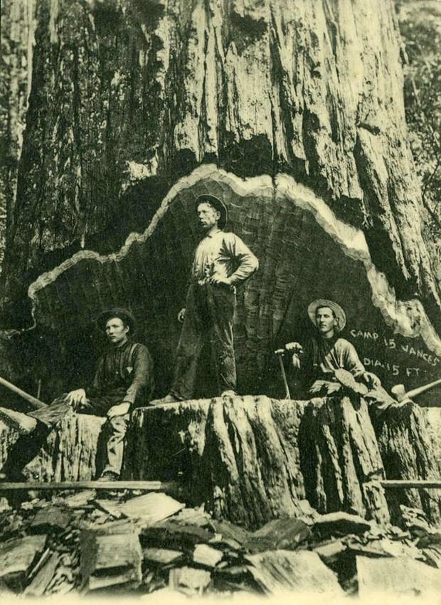 Redwood Fallers