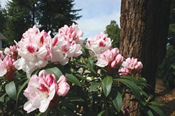 PHOTO COURTESY OF SINGING TREE GARDENS - Rhododendrons at the Newitz garden in Arcata.