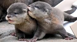 baby_otters.jpg