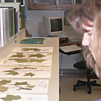I'm your thimbleberry: The life and times of Rubus parviflorus Robin Bencie, collections manager of the herbarium at Humboldt State University, displays some of the 70-plus specimens of Rubus parviflorus. Some specimens in the herbarium date to the late 1800s. Photo by Heidi Walters.