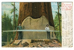 "POSTCARD COURTESY OF EUREKA BOOKS - Sawmen with Big Tree. This card is from a time when only addresses were allowed on back of card. The 1907 postal rule change enabling ""divided back"" cards and writing on back, ushered in the Golden Age of Postcards."