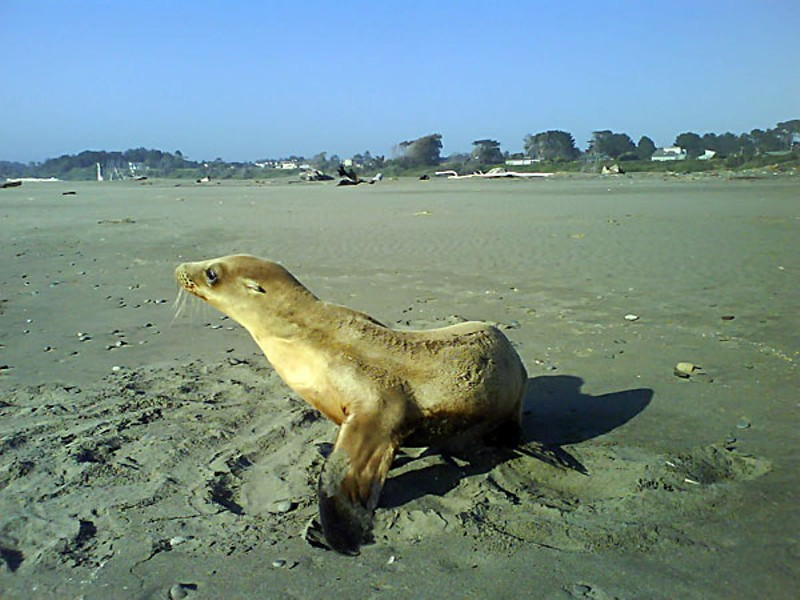 Sea lion yearling at Mad River Beach. Photo by Ken Malcomson.