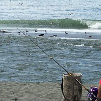 Combat Fishing on the Klamath Sea lions and birds mob the entryway to the ocean where schools of big salmon dash in and out. Photo by Heidi Walters