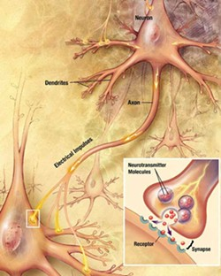 U.S. NATIONAL INSTITUTES OF HEALTH, WIKIMEDIA COMMONS - Simplified diagram showing how neurons communicate.