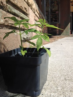 PHOTO BY JENNIFER FUMIKO CAHILL - Someone orphaned this little plant on F Street in Old Town last week. In a couple hours, it was gone.