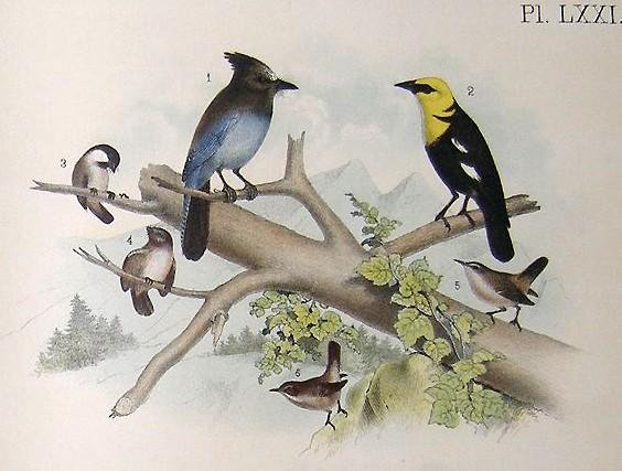 Steller's Jay and other birds - JOHN JAMES AUDUBON
