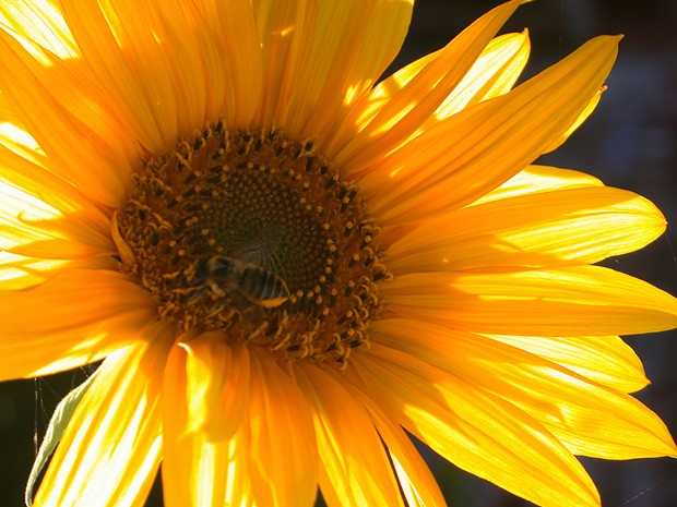 Sunflower - PHOTO BY BOB DORAN