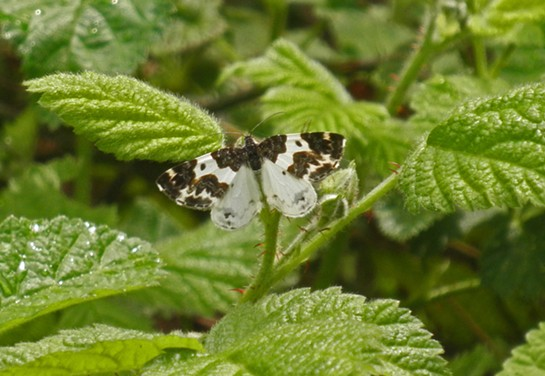 The elusive 'western white ribboned carpet moth.' - ANTHONY WESTKAMPER