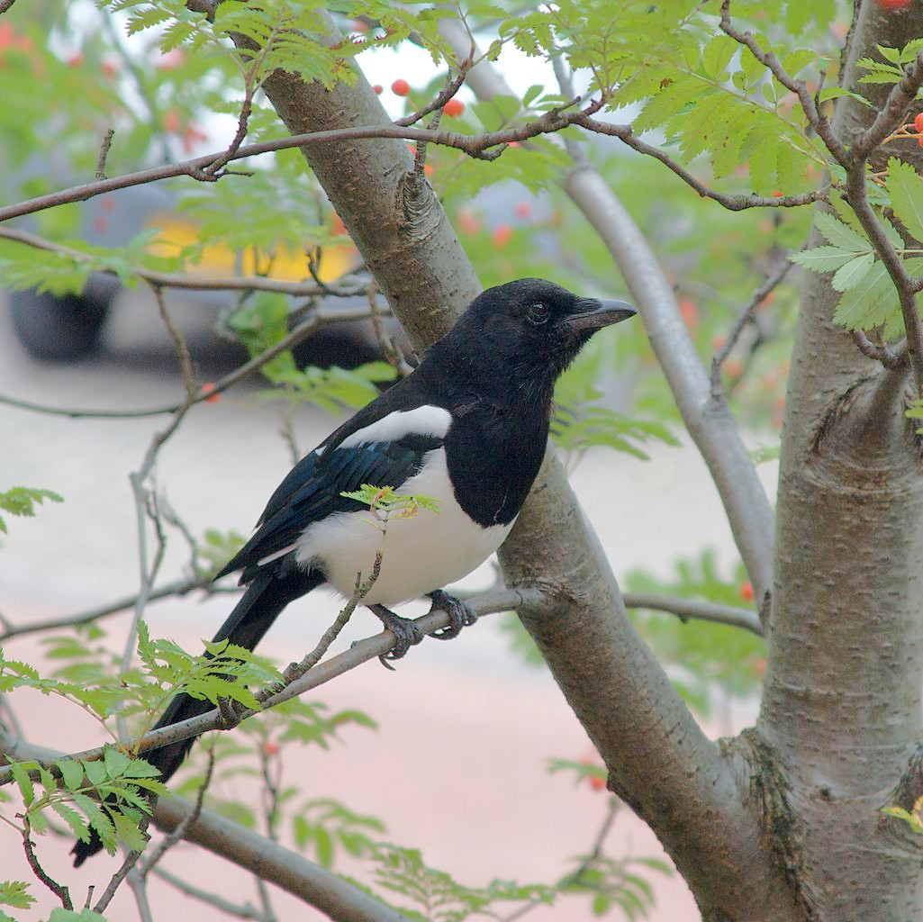The European magpie (Pica pica), one of the smartest of animals, recognizes itself in a mirror. - PETE BIRKINSHAW, WIKIMEDIA COMMONS