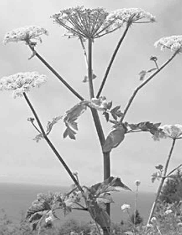 The source of my phyto-photo-dermatitis: cow parsnip. Photo by Don Garlick.