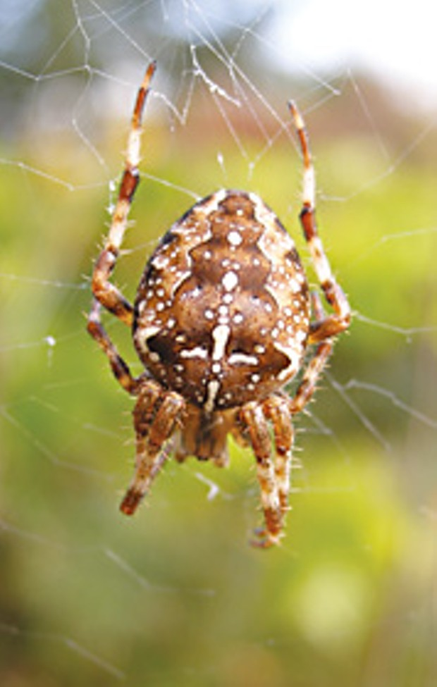 The ubiquitous cross spider. Photo by Peter Haggard.