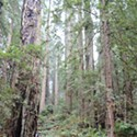 Headwaters: The Redwoods in our Backyard