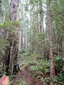 PHOTO BY BARRY EVANS - This loop trail through a virgin redwood grove starts at the Elk River Road parking lot.