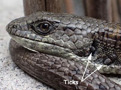 Ticks on an alligator lizard. - ANTHONY WESTKAMPER