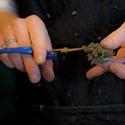 Marijuana Murkiness