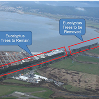 County Staff: Eucalyptus Removal a Must for Bay Trail
