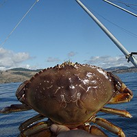 Crab Season Opener For Patrick's Point North Delayed by Domoic Acid