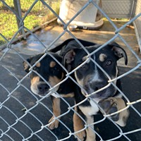 Three Dogs Stolen From Fortuna Animal Rescue