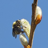 HumBug: Bees and May-bees on the Willow