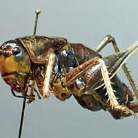 Throwback Crickets and Darkling Beetles