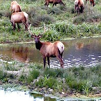 Reward Offered in Poaching of Roosevelt Elk