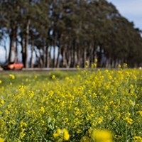 Caltrans: Arborist to Check out Health of Eucalyptus on 101