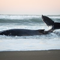 Update: Whale Euthanized