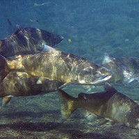 Report Reveals Dire Runs of Returning Salmon