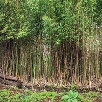 To Bamboo or Not to Bamboo