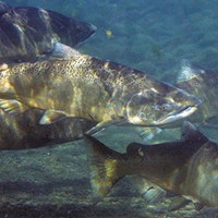 Salmon Outlook: Less Fish, Less Fishing