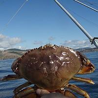 Crab: No Guts, No Worries