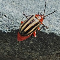 HumBug: An Inordinate Fondness for Beetles