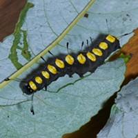 HumBug: Dragonflies and Caterpillar