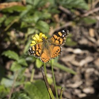 HumBug: Winter Butterflies