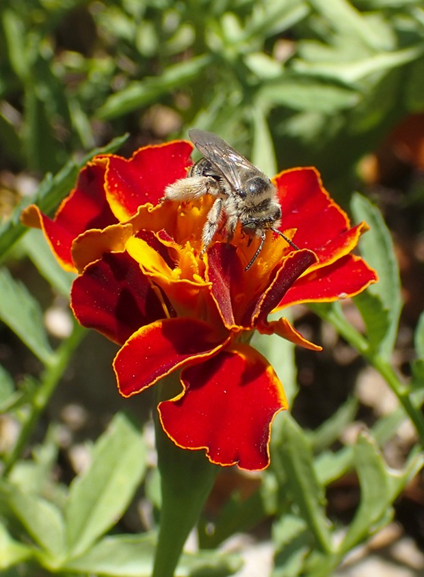 Genus Colletes fuels up on marigold. - PHOTO BY ANTHONY WESTKAMPER