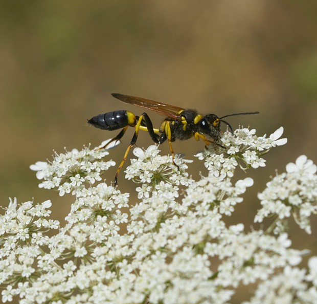 Yellow and black mud dauber nectars on Queen Anne's lace. - PHOTO BY ANTHONY WESTKAMPER