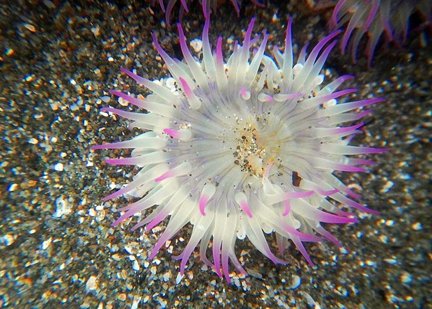 Pink-topped anemone. - PHOTOGRAPH BY MIKE, JULIE AND JEN KELLY