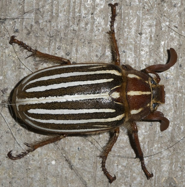 The common and distinctive 10-lined June bug on my front porch. - PHOTO BY ANTHONY WESTKAMPER