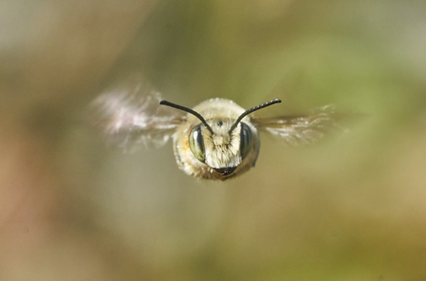 Hovering bee faces challenge. - PHOTO BY ANTHONY WESTKAMPER