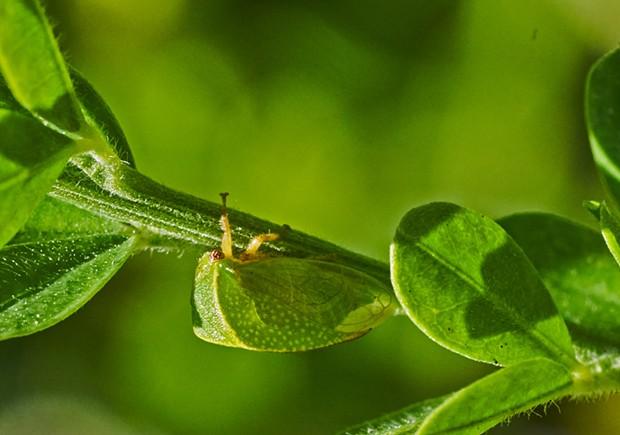 Buffalo leafhopper. - PHOTO BY ANTHONY WESTKAMPER