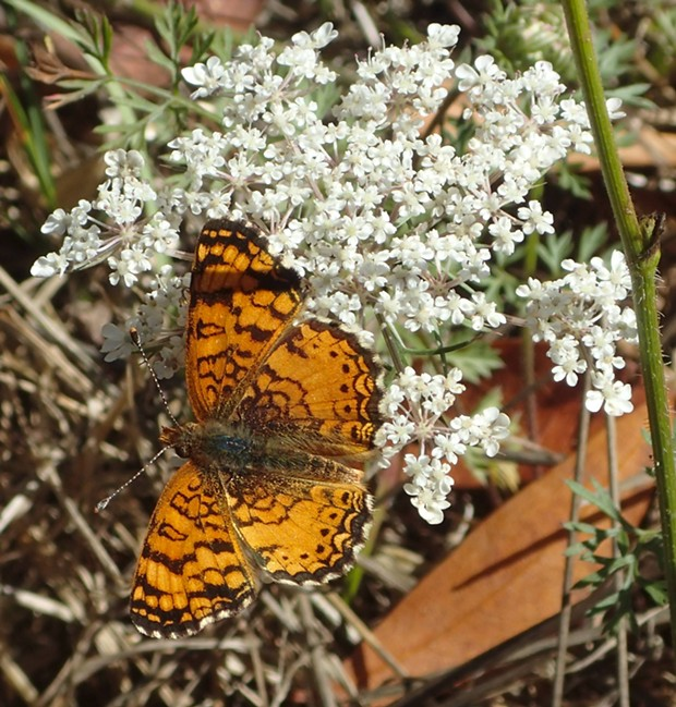 Mylitta crescent butterfly on Queen Anne's lace. - PHOTO BY ANTHONY WESTKAMPER