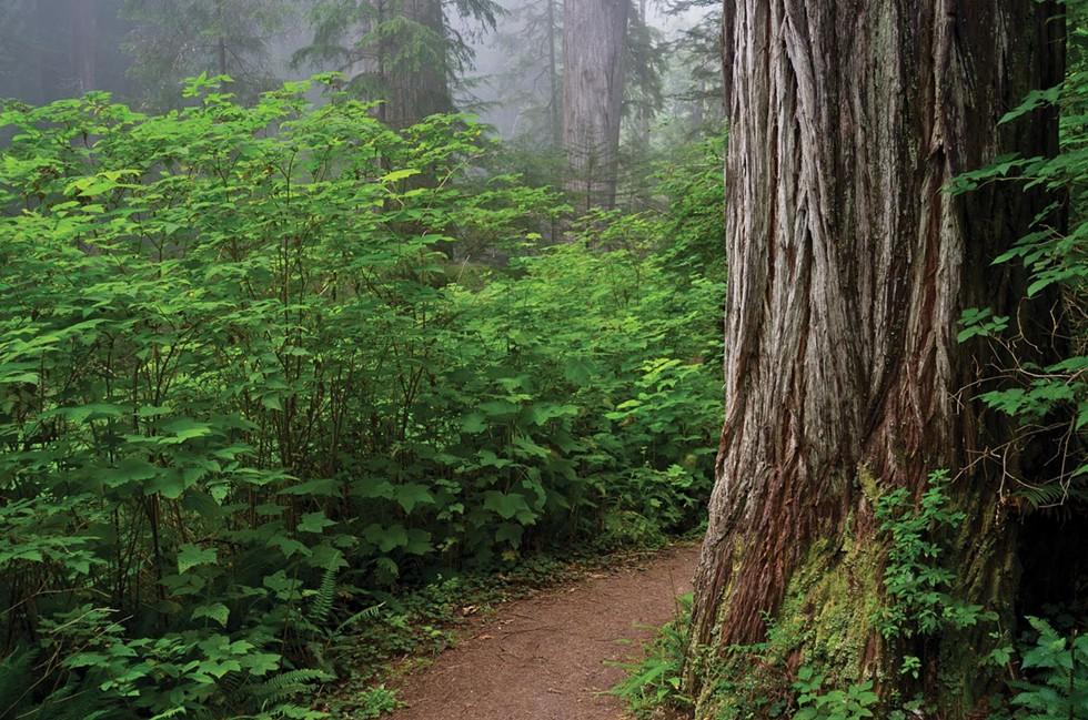 Prairie Creek Redwoods State Park. - GREG NYQUIST