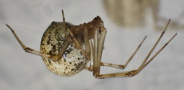 Common house spider next to my front porch light. - PHOTO BY ANTHONY WESTKAMPER