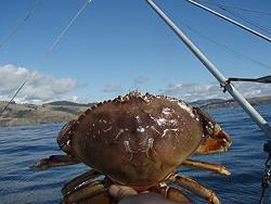As crab season nears, domoic acid raises its ugly head. - C. JUHASZ/CDFW WEBSITE