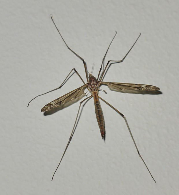"Crane fly, also not related but sometimes called ""daddy longlegs."" - PHOTO BY ANTHONY WESTKAMPER"